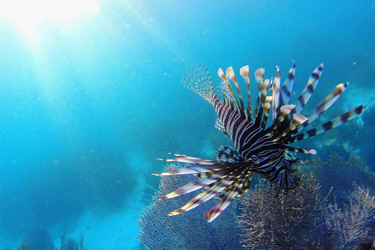 Lionfish Hunting and More at Ray Caye Resort